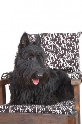 Scottish Terrier Dog Breed