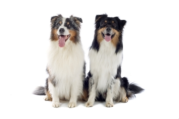 About The Australian Shepherd Dog Breed American Dog Blog