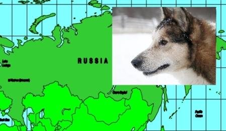 West Siberian Laika