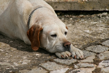 Warning Signs Of Canine Kidney Disease American Dog Blog