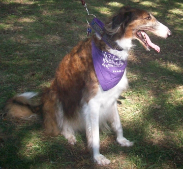 All About The Borzoi Dog Breed American Dog Blog