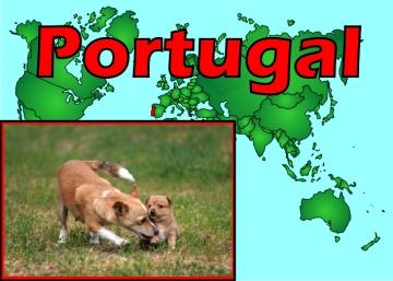 Portuguese Hound