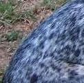 Blue Ticking Dog Coat Color