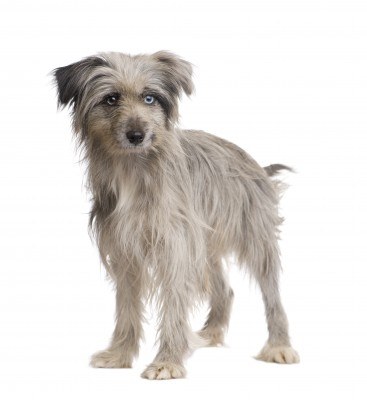 Pyrenean Sheepdog Dog Breed