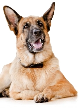 The German Shepherd Dog Breed