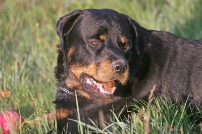 The Rottweiler Dog Breed is from Rottweil