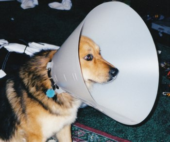 Achilles Wearing a Cone Collar for Dogs