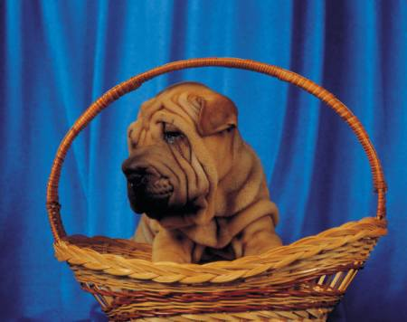 Chinese Shar Pei Dog Breed