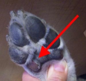 cães com bolhas nas patas