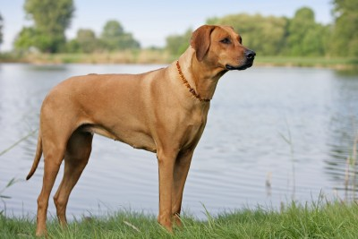 African Ridgeback Dog For Sale