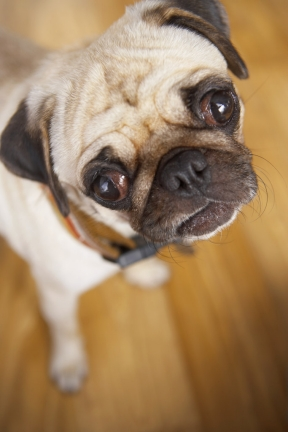... Part I – History of the Pug Dog Breed's Name | American Dog Blog