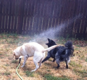 Dogs Playing in Sprinkler