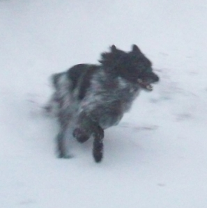 The wild wolf races through the snow to capture his unsuspecting prey.