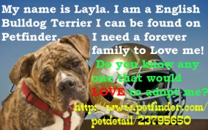 Layla is an Olde English Bulldogge.