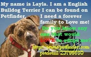 Layla is an Olde English Bulldogge.
