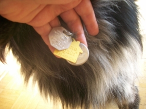Pierson has a rabies tag, the Home Again tag with his microchip number, and his id tag with my phone number.