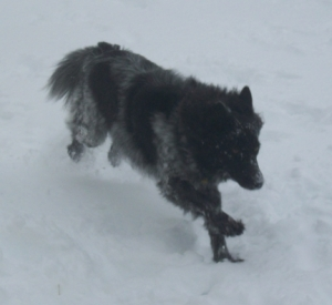 Dog bounding through snow.