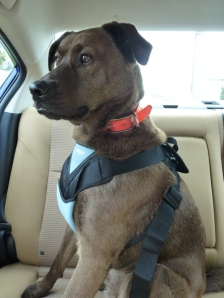 Bobo, a Canine Angel service dog