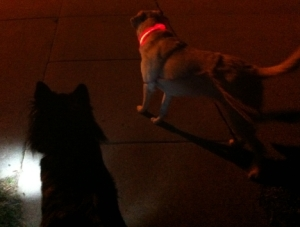 My dogs wearing light up dog collars.