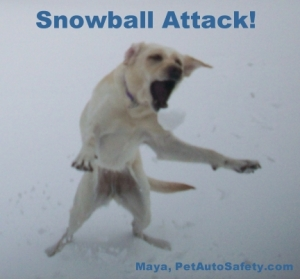My Dog Maya Attacking a Snowball
