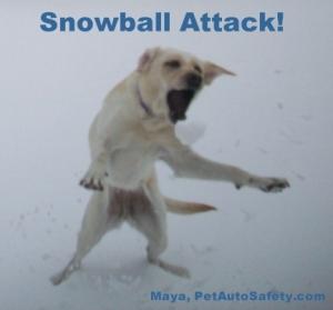 My Dog Maya Attacking a Snowball