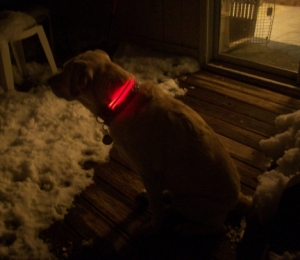 Maya's NiteDawg light-up dog collar.