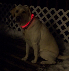 Maya Wearing NiteDawg Dog Collar