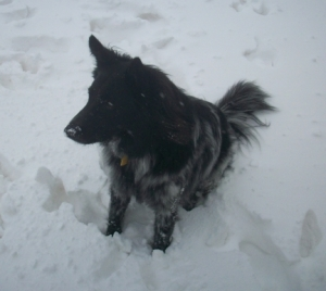 My Dog Pierson Sitting and Looking at the Snow