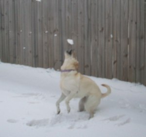 My Dog Maya Almost Catches a Snowball