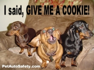 Dachshund Dogs Want Cookie