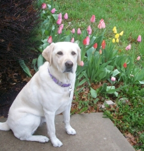 My Dog Maya and Tulips