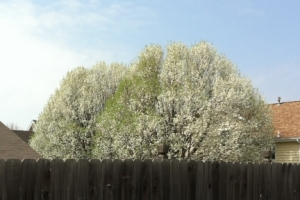 Blossoming Trees 4
