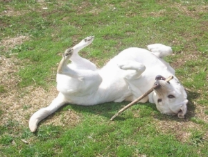 My Labrador Maya Chewing on Stick