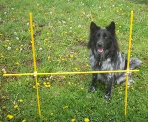 My Aussie Dog Pierson Considering Jump
