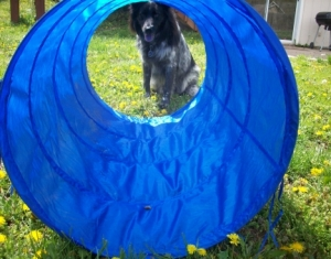 My Aussie Dog Pierson and the Agility Tunnel