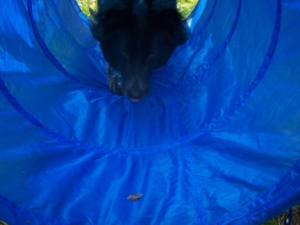 Dog Pierson Walks into Agility Tunnel