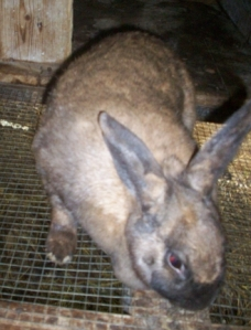 Callie Bunny Rabbit