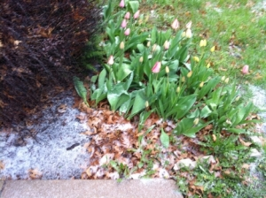 Tulips and Snow