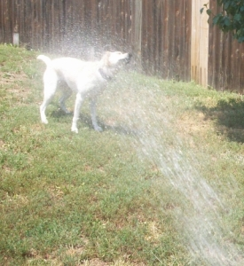 Watering the Dogs 005