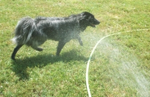 Watering the Dogs 007