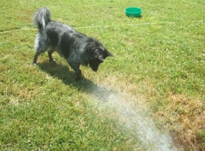 Watering the Dogs 010