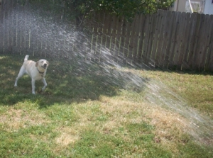 Watering the Dogs 014