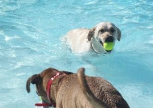 Maya and Another Dog Swimming in Public Pool