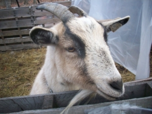 Sandy the Sweet Goat