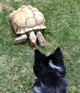 Dog Pierson Sam Tortoise