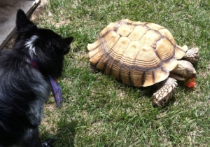 Dog Pierson Approaches Sam Tortoise