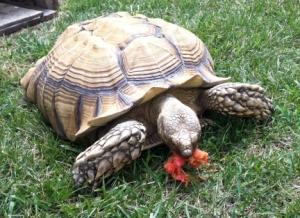 Sam Turtle Tortoise