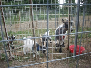 Mama Goat and Kids