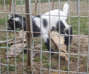 Baby Goat Kid