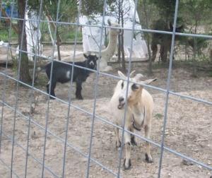 Goats and Llamas
